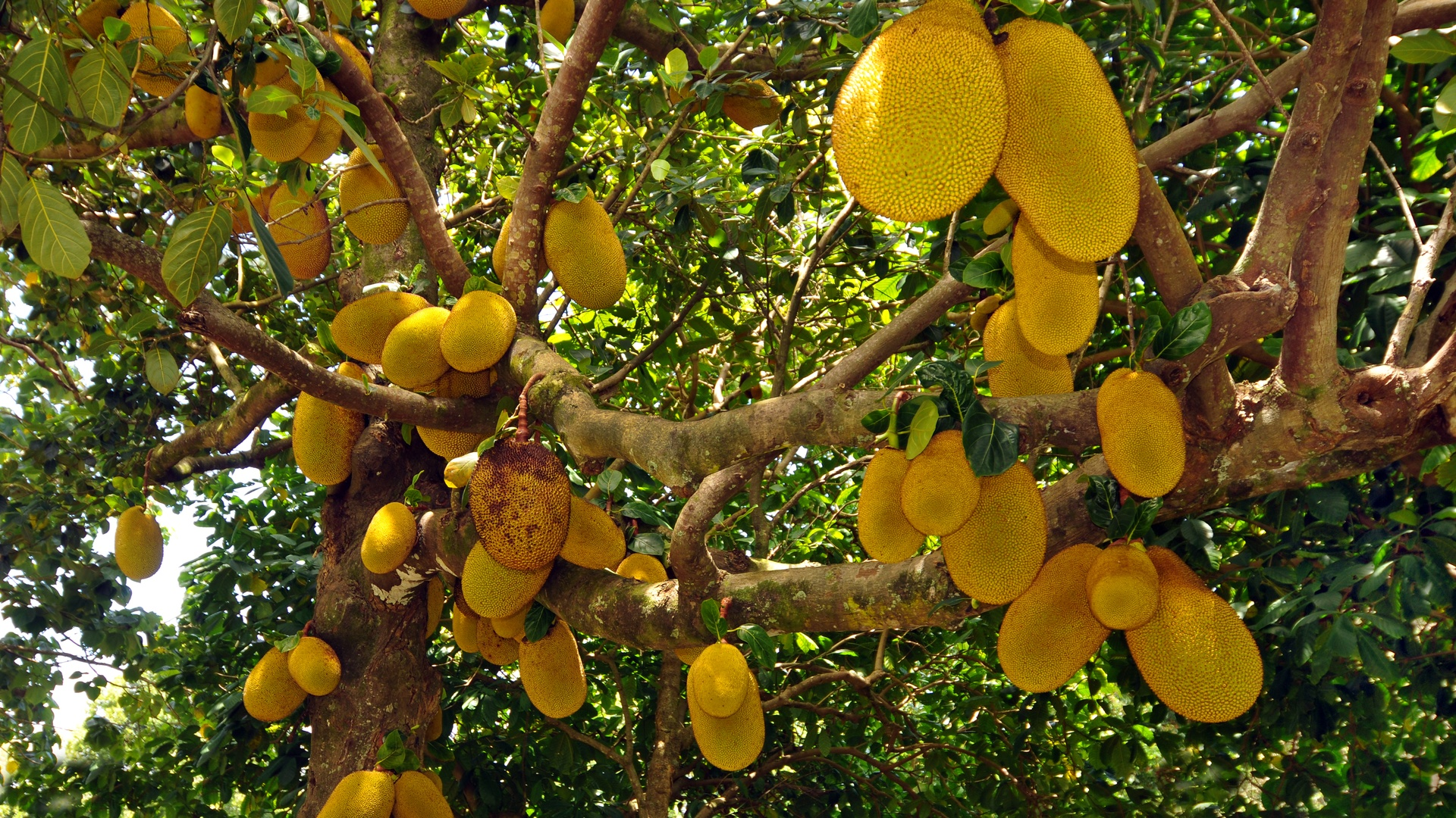 Kahanu Garden & Piʻilanihale Heiau