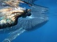 Swimming with Whale Sharks in Ningaloo Reef from Exmouth