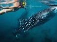 Whale Shark Snorkeling: Day Excursion to La Paz