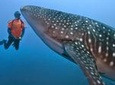 Whale Shark Encounter from Cancun