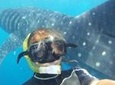 Snorkel and Swim with a Whale Shark Tour