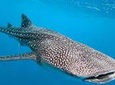 Whale Shark Tour from Tulum