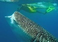 La Paz Snorkeling with Whale Sharks Sightseeing and Shopping from Los Cabos