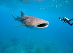 Swim with a Whale Shark