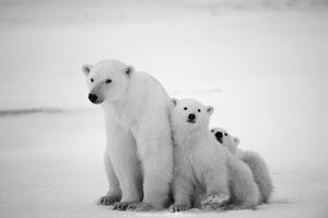 See a Polar Bear in the Wild
